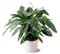 "Peace of Lily - Spathiphillum The lush Spathiphyllum plant in a woven pot cover is one of the few flowering plants that blooms reliably indoors. 10"" pot."